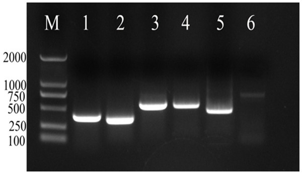 PCR analysis of positive clones of candidate reference genes of Radopholus similis.