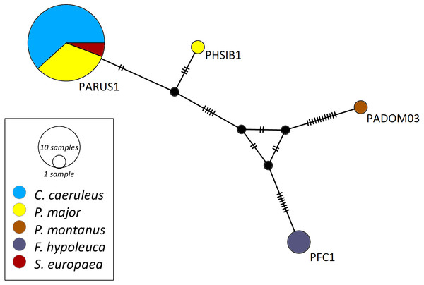 Median-joining network of mitochondrial cytochrome b gene lineages of Haemoproteus spp. (n = 39, 463 bp fragment).