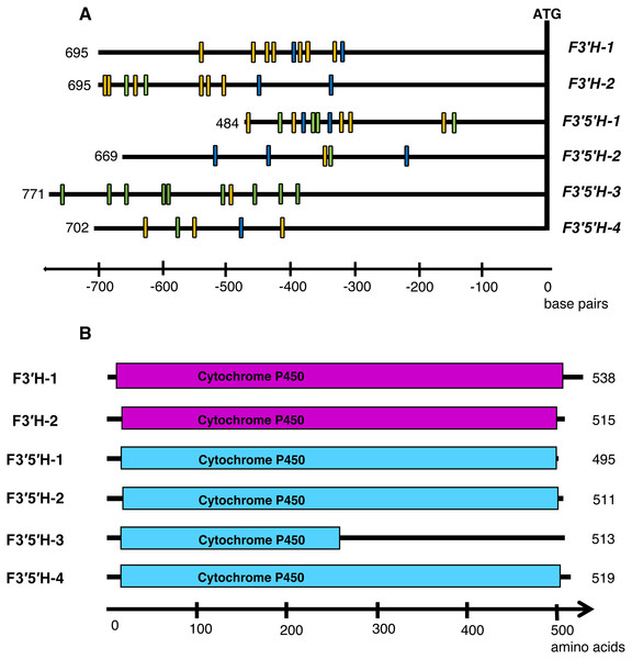 (A) Diverse promoter structure of F3′H and F3′5′H genes in barley; (B) structure analysis of identified genes.