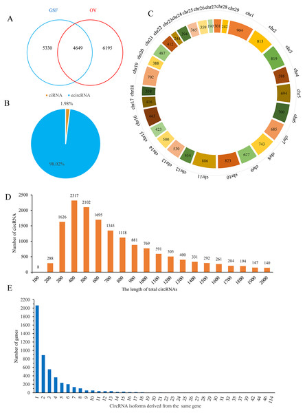 Properties of circRNAs in ORFV-infected and uninfected GSF samples.