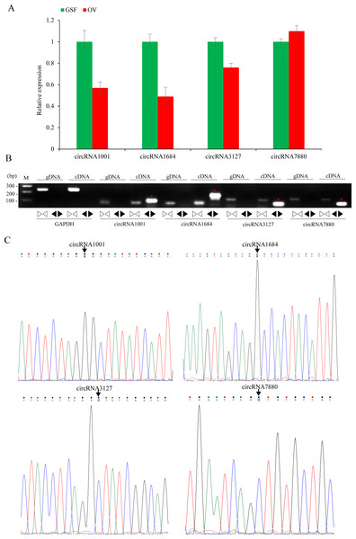 Validation of circRNAs by qRT-PCR and Sanger sequencing.