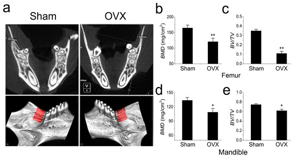 Micro-CT and quantification of mouse mandible and femur.