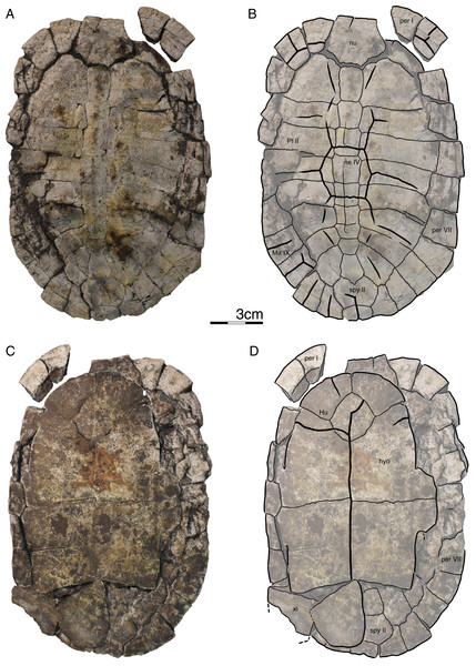 GPIT/RE/09759, Banhxeochelys trani gen. et sp. nov., juvenile, middle to late Eocene of Vietnam.