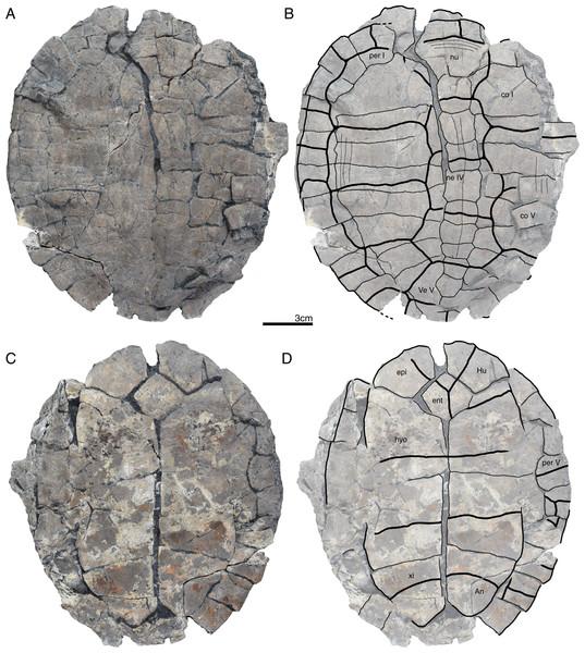 GPIT/RE/09743, Banhxeochelys trani gen. et sp. nov., juvenile, middle to late Eocene of Vietnam.