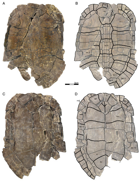 GPIT/RE/09760, Banhxeochelys trani gen. et sp. nov., holotype, subadult, middle to late Eocene (Priabonian) of Vietnam.