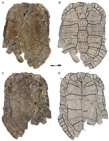 GPIT/RE/09760, Banhxeochelys trani gen. et sp. nov., holotype, subadult, middle to late Eocene (Priabonian) of Vietnam.