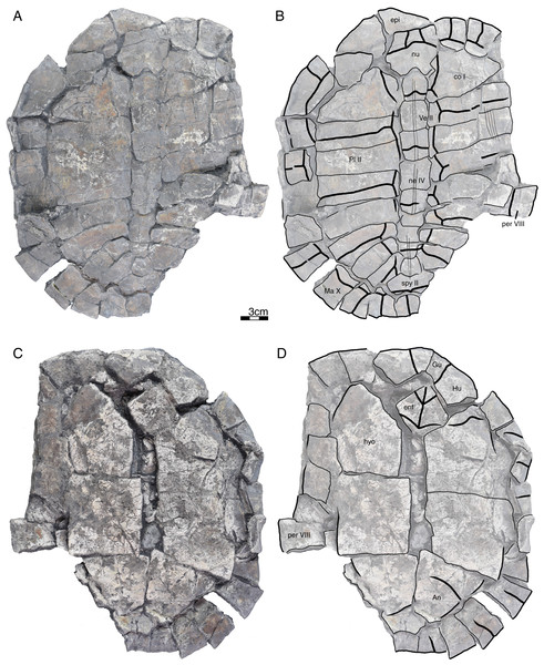 GPIT/RE/09735, Banhxeochelys trani gen. et sp. nov., adult, middle to late Eocene of Vietnam.