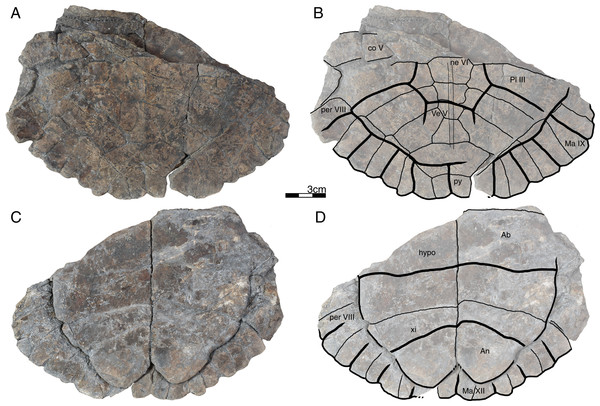 GPIT/RE/09747, Banhxeochelys trani gen. et sp. nov., subadult, middle to late Eocene of Vietnam.