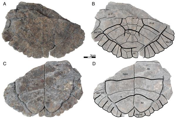 GPIT/RE/09747, Banhxeochelys trani gen. et sp. nov., subadult, middle to late Eocene of Vietnam.