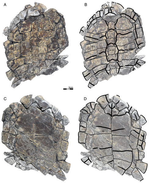 GPIT/RE/09733, Banhxeochelys trani gen. et sp. nov., adult, middle to late Eocene of Vietnam.