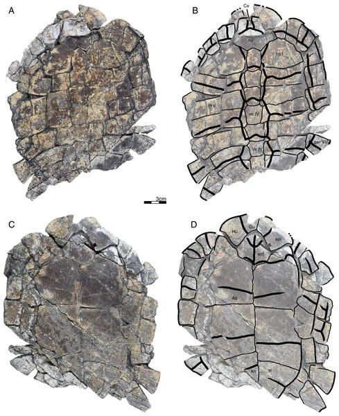 GPIT/RE/09733, Banhxeochelys trani gen. et sp. nov., adult, middle to late Eocene of Vietnam.