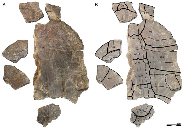 GPIT/RE/09749, Banhxeochelys trani gen. et sp. nov., subadult, middle to late Eocene of Vietnam.