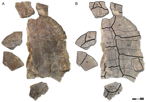 GPIT/RE/09749, Banhxeochelys trani gen. et sp. nov., subadult, middle to late Eocene of Vietnam.