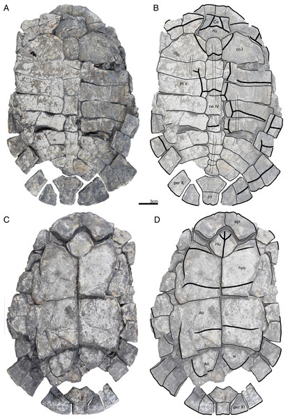GPIT/RE/09731, Banhxeochelys trani gen. et sp. nov., adult, middle to late Eocene of Vietnam.