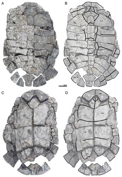 GPIT/RE/09731, Banhxeochelys trani gen. et sp. nov., adult, middle to late Eocene of Vietnam.