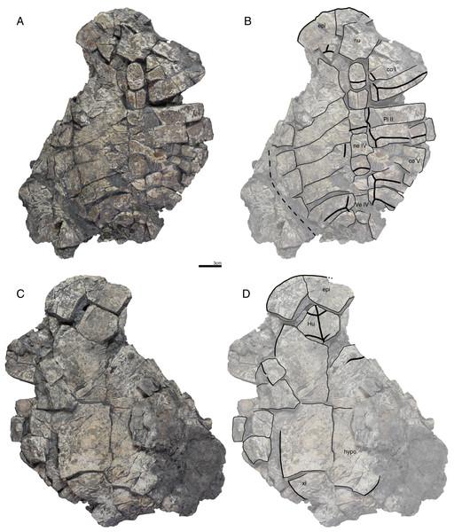 GPIT/RE/09732, Banhxeochelys trani gen. et sp. nov., adult, middle to late Eocene of Vietnam.