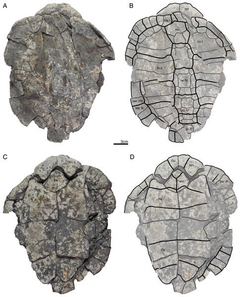 GPIT/RE/09738, Banhxeochelys trani gen. et sp. nov., adult, middle to late Eocene of Vietnam.