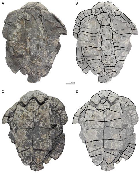 GPIT/RE/09738, Banhxeochelys trani gen. et sp. nov., adult, middle to late Eocene of Vietnam.