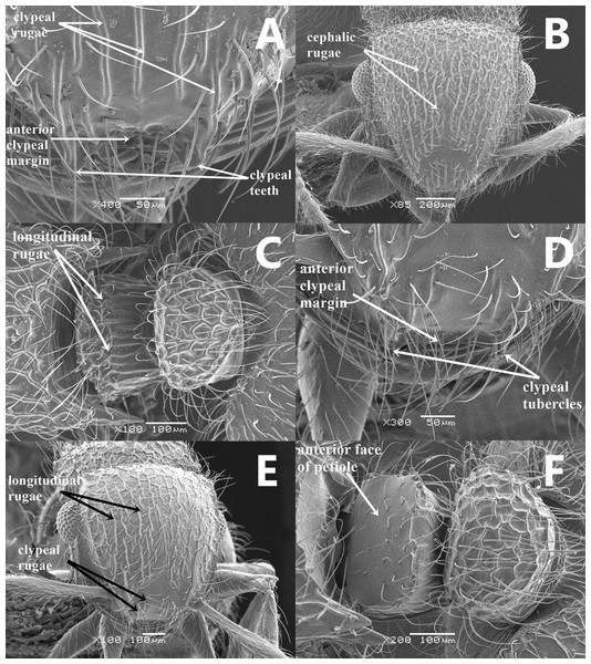 SEM images of Meranoplus key illustrations, (A–C) M. pulcher Sharaf; A, clypeus; B, Head in full-face view; C, petiole and postpetiole in dorsal view; (D–F) M. mosalahisp. n.; D, clypeus; E, Head in full-face view; F, petiole and postpetiole in dorsal view.