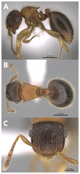 Meranoplus mosalahisp. n., paratype worker, (A) body in profile; (B) body in dorsal view; (C) head in full-face view, (CASENT0922861, http://www.AntWeb.org, Michele Esposito).
