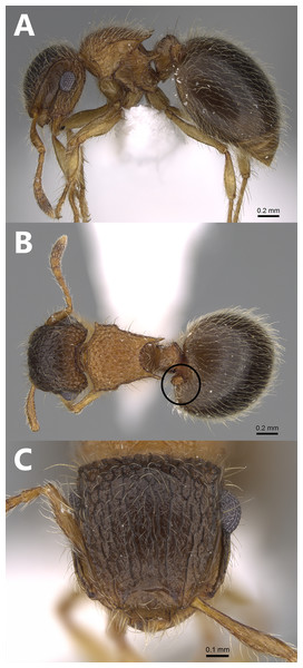 Meranoplus mosalahisp. n., Aberrant paratype worker, (A) body in profile; (B) body in dorsal view; (C) head in full-face view, (CASENT0922862, http://www.AntWeb.org, Michele Esposito).