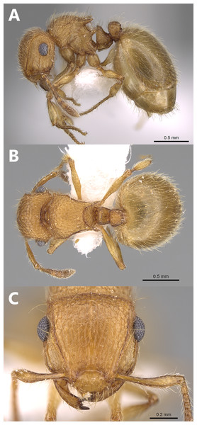 Meranoplus pulcher Sharaf, paratype worker, (A) body in profile; (B) body in dorsal view; (C) head in full-face view (CASENT0914336, http://www.AntWeb.org, Michele Esposito).