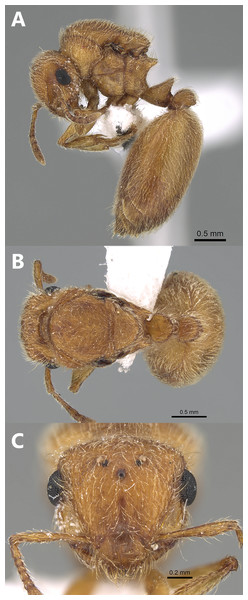 Meranoplus pulcher Sharaf, queen, (A) body in profile; (B) body in dorsal view; (C) head in full-face view (CASENT0922279, http://www.AntWeb.org, Michele Esposito).