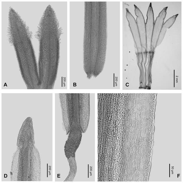Micro-morphology of Aster dolichophyllus.