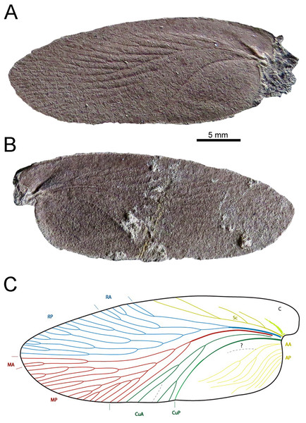 Description of a new blattid from the Early Permian of Uruguay.