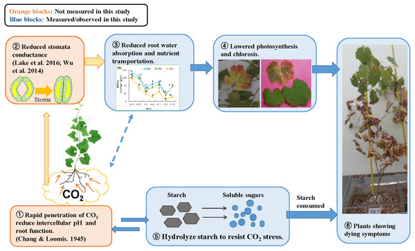 Conceptual model of the response to high soil CO2 concentration in plant: involvement of hydraulic reaction and compensational mechanism.