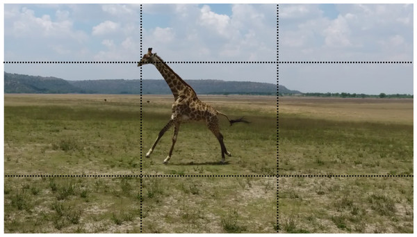 A still image of a rotary galloping giraffe taken from video footage recorded using a DJI Phantom 4 UAV, at study site 3.
