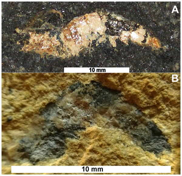 Lateral view of the fossils studied.