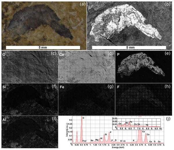 SEM image and EDS elemental maps of the Romualdo Formation sample.