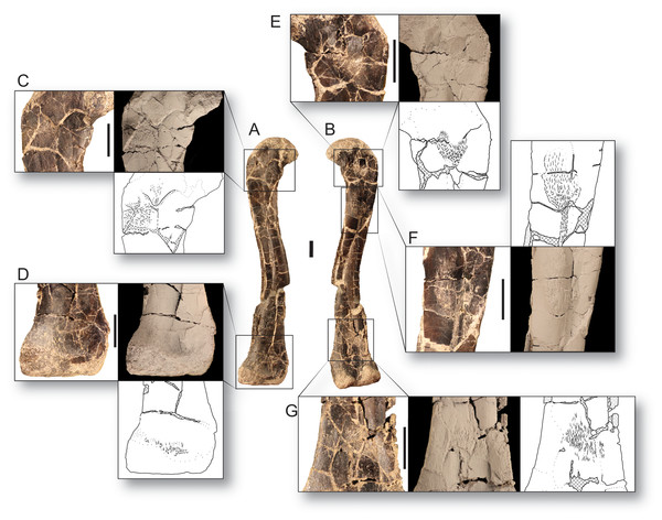 Bone scars of the largest femur of Dromomeron romeri in (A) anterolateral and (B) posteromedial views.
