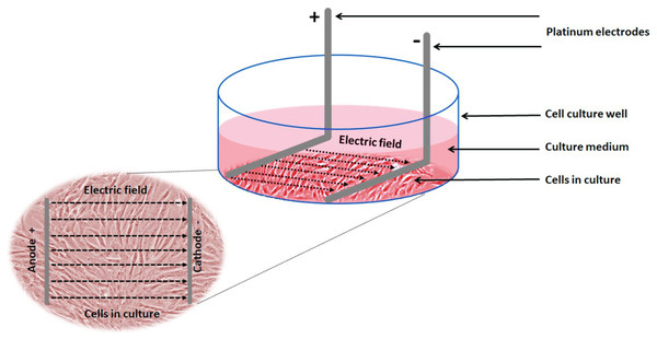 Schematic showing the experimental setup and electric field relative to the cells.