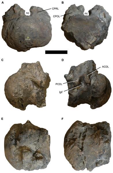 Photographs of the anterior dorsal centum NHMUK 1871.