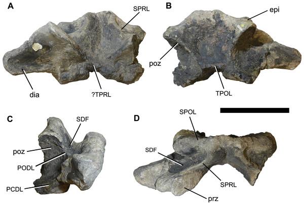 Photographs of the anterior dorsal neural arch NHMUK 1871.