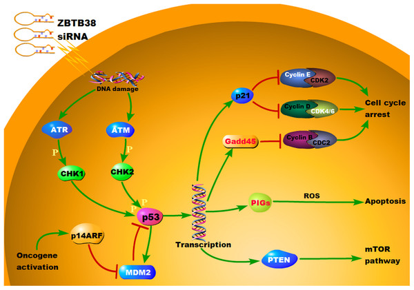 KEGG pathway annotation map of differentially expressed genes in p53 signaling pathway.