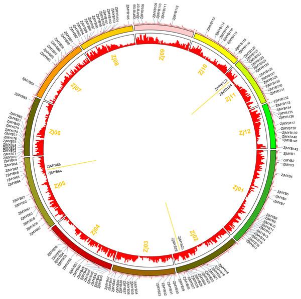 Chromosomal distribution and gene duplication of jujube MYB superfamily genes.