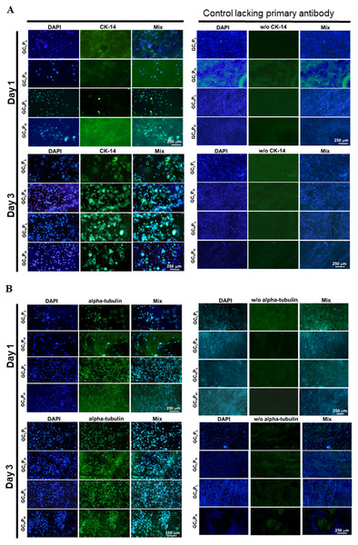 Immunohistochemical assay for (A) PHEK grown on four G/C/P biocomposites at 1, 3 days and for (B) PHDF grown on four biocomposites at 1, 3 days, as the staining controls lacking primary antibody were present in the second set of columns.