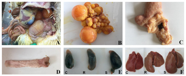 Macroscopic pathological changes in organ tissue from SE-infected ducks.