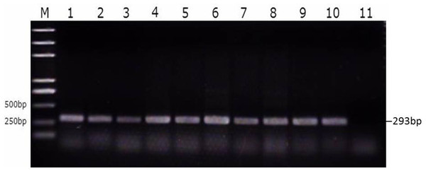 Identification of SE strains isolated from the follicle, ovarian stroma, isthmus, vagina, and cecal contents of infected ducks by PCR using Primers specific for sdf1.