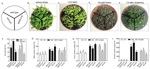 Stress tolerance analyses of wild type, MnEIL3ox, and ein3-1 eil1-1 Arabidopsis.