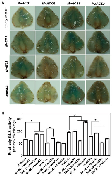 In vivo interactions of MnEIL3 with ethylene biosythetic genes promoters.