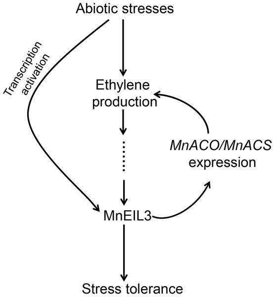 A possible model of MnEIL3 in responses to abiotic stresses.