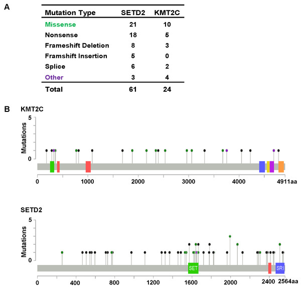 KMT2C and SETD2 mutational spectrum in renal cell carcinoma.
