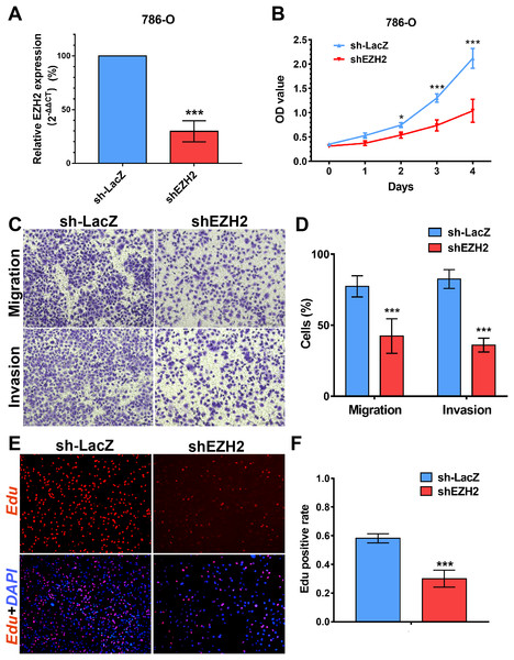 EZH2 promotes cell proliferation, migration and invasion in vitro.