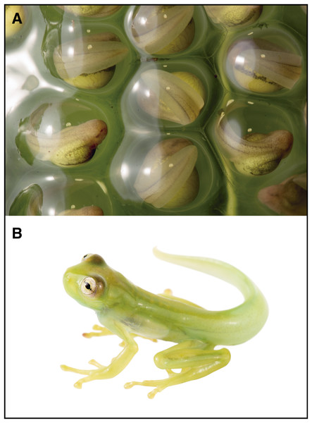 Life stages of Nymphargus manduriacu sp. nov.