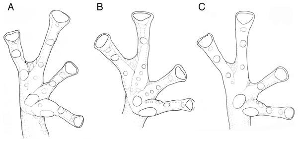 Hand webbing Nymphargus manduriacu sp. nov. and similar species.