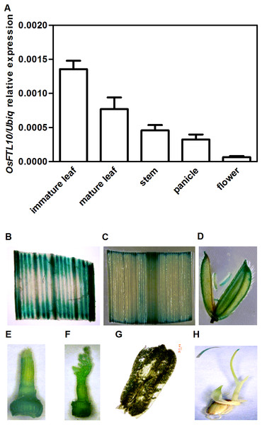 Temporal and spatial expression OsFTL10 in rice.
